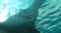 Prisées pour la valeur de leur rostre, les cinq espèces de poisson-scie sont parmi les plus menacées de la planète et figurent sur la liste rouge de l'Union internationale pour […]